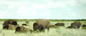 Buffalo was a common meal at the station celebrations.